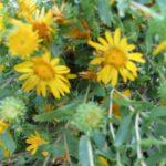 Grindelia Flower Essence