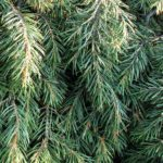 Pinion Pine Essential Oil