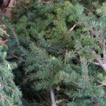 douglas-fir-essential-oil