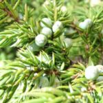 dwarf-juniper-essential-oil