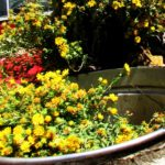 grindelia-essential-oil