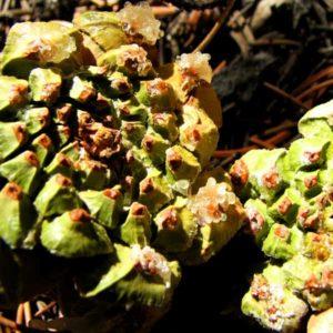 pinion-pine-cone-essential-oil