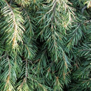 pinion-pine-essential-oil