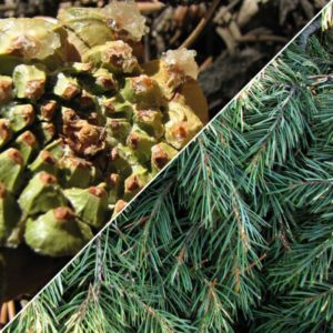 pinion-pine-needle-cone-essential-oil