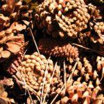ponderosa-pine-cone-essential-oil