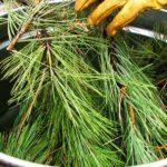 ponderosa-pine-essential-oil